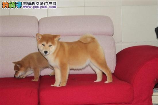 江门什么地方有卖柴犬 纯种日本柴犬价格多少