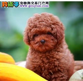 惠州什么地方有卖泰迪熊 玩具型泰迪熊价格多少