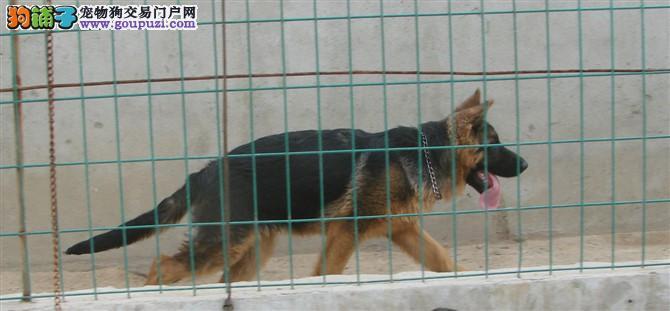 犬舍繁殖纯种东德/西德/德国牧羊犬 健康保障