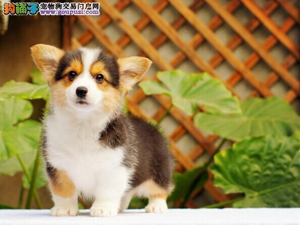 出售纯种健康的柯基幼犬CKU认证绝对信誉保障