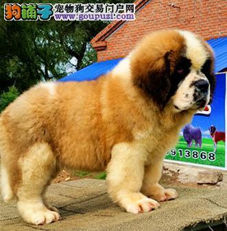 稀少品种纯种圣伯纳幼犬7只待售中 待有缘人