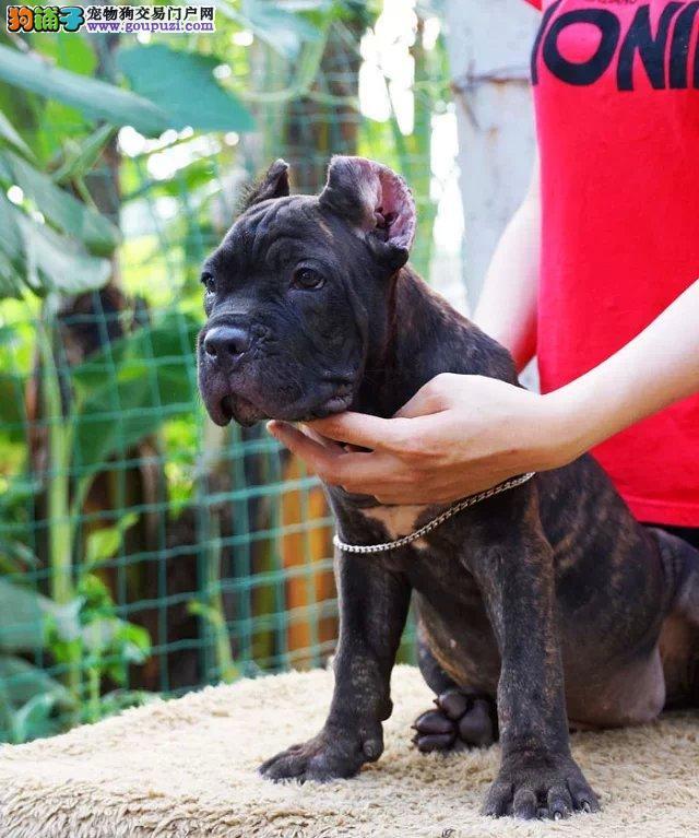专业繁殖高品质赛级卡斯罗幼犬纯种