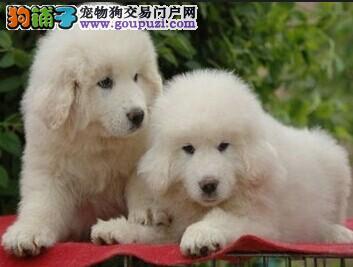 专业大白熊繁殖基地出售赛级大白熊幼犬 健康三包