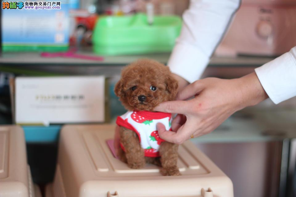韩国引进顶级茶杯泰迪最小体泰迪出门可以放包包里