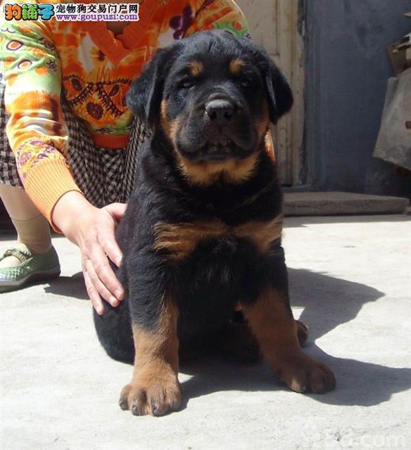 罗威纳犬价格_罗威纳犬图片_罗威纳犬多少钱