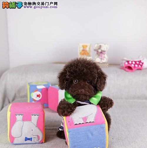 佛山哪里有卖泰迪熊多少钱佛山泰迪熊价格