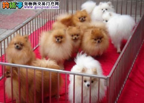 佛山什么地方买博美最好 博美犬的价格