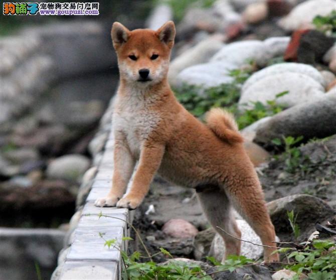 纯血统日本柴犬,终身售后,冠军品质