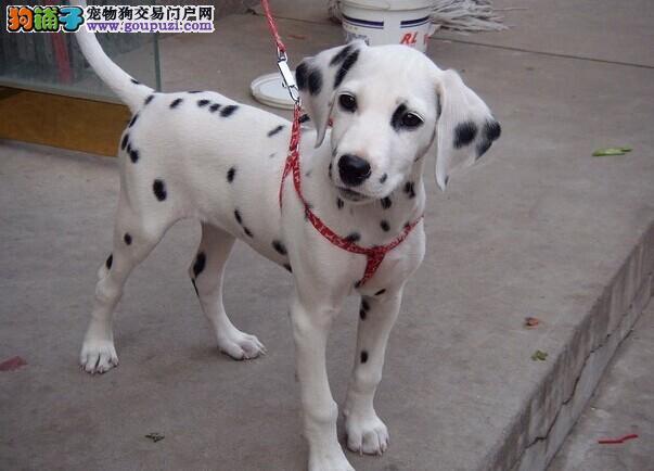 名犬专业繁殖优质斑点狗可送货