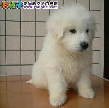可爱大白熊幼犬签协议,保三年
