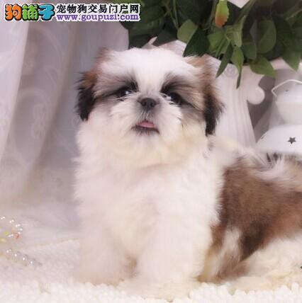 可爱富贵西施犬,纯种品种,签订协议随时送货