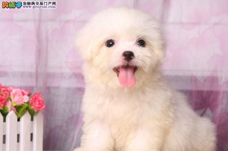长相甜美马尔济斯犬宝宝,品种优良可自选