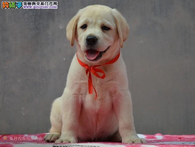 可爱拉布拉多幼犬,完美体态,健康幼犬,签合同