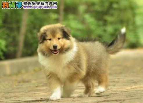 高品质苏牧 幼犬出售了 疫苗做完 质量三包