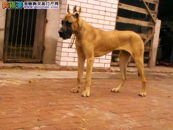CKU认证犬舍 专业出售极品 大丹犬幼犬签署各项质保合同