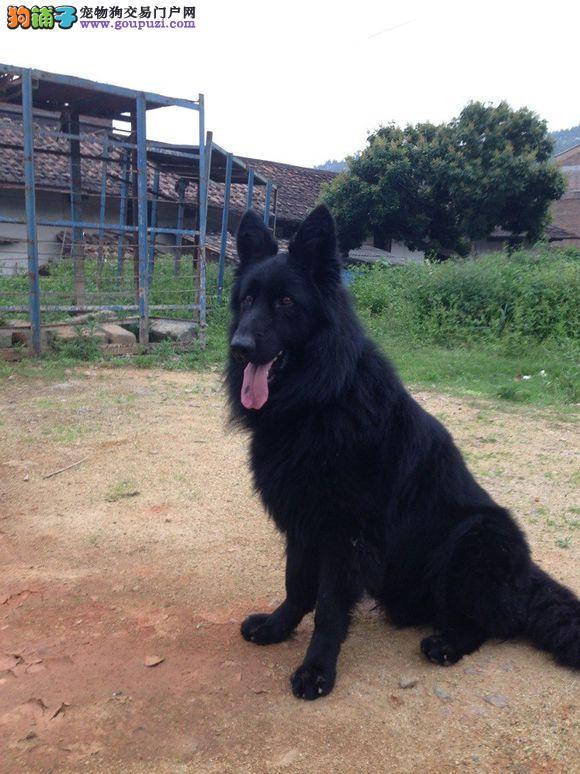 纯种 比利时 多只可选 正规犬舍出售 签订协议