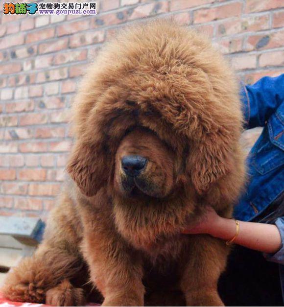 纯种 高端 藏獒多只可选 正规犬舍出售 签订协议