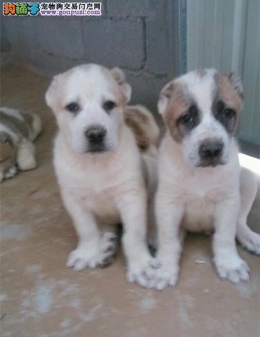 纯种 赛级 中亚 多只可选 正规犬舍出售 签订协议
