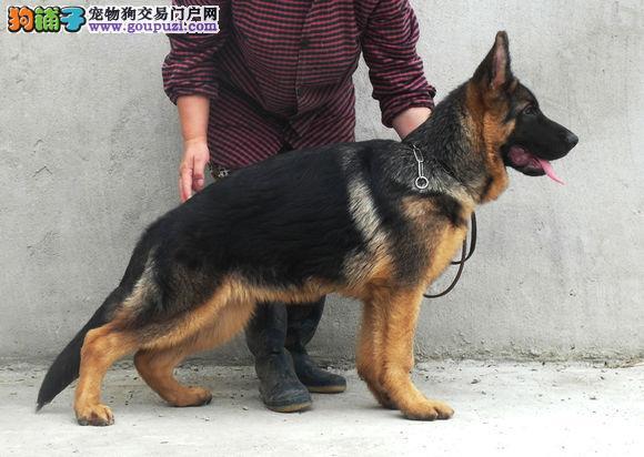极品 德国牧羊犬 保证纯种健康 CKU国际认证犬舍