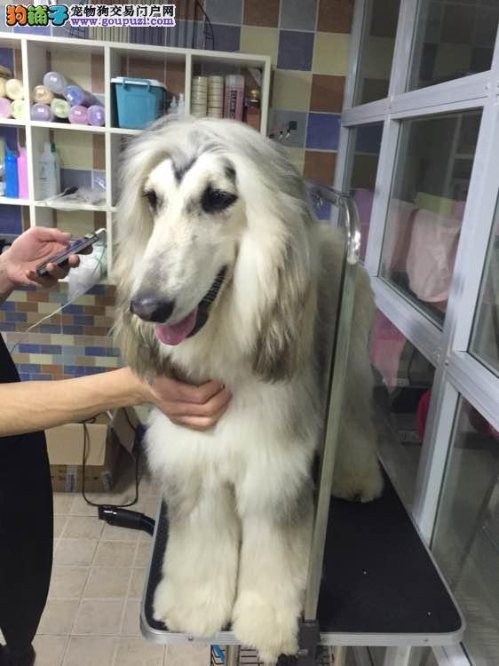 精品高品质阿富汗猎犬幼犬热卖中品质一流三包终身协议