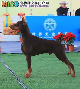 纯种 赛级 杜宾 多只可选 正规犬舍出售 签订协议
