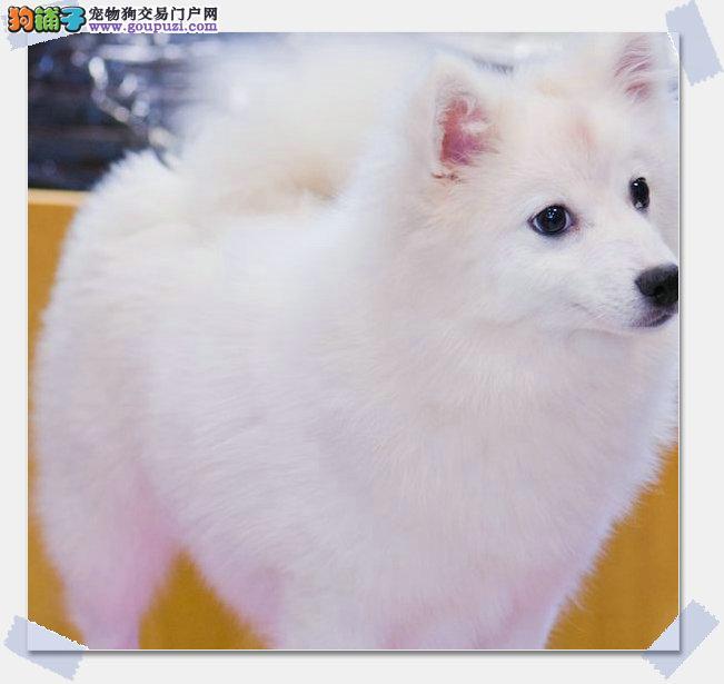出售银狐幼犬-品质终身质保/可签协议/本市免费送货