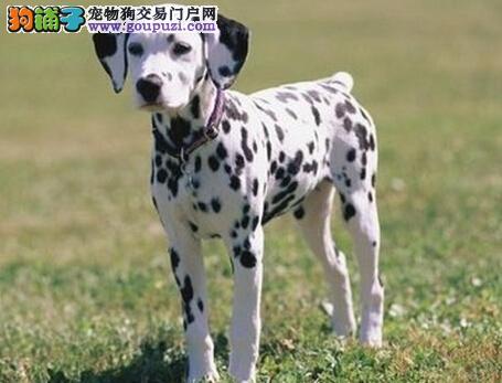 纯种大麦町幼犬斑点狗 赛级CKU血统认证