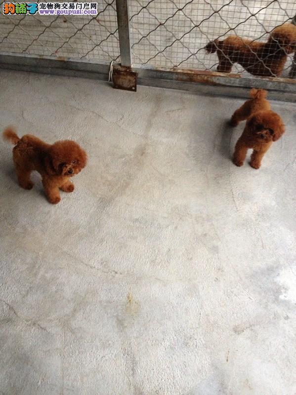 泰迪幼犬小巧玲珑 贴心犬 随时可以看狗
