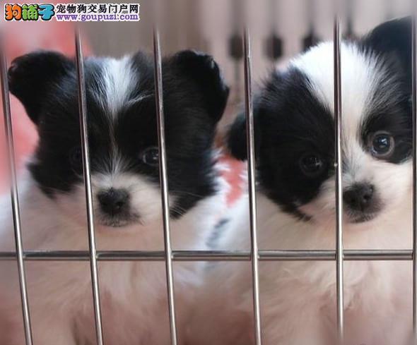高品质 蝴蝶幼犬出售了 疫苗做完 质量三包