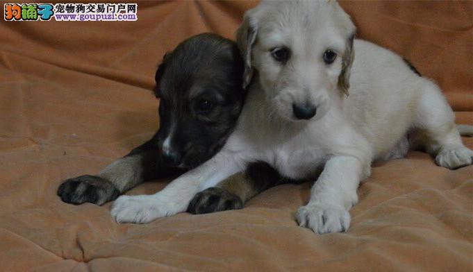苏州精品高品质阿富汗猎犬幼犬热卖中上门可见父母