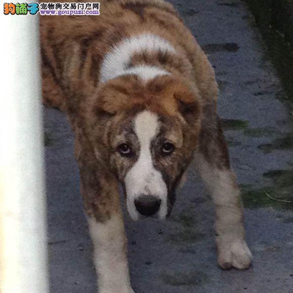 极品虎斑中亚幼犬CKU认证完美售后