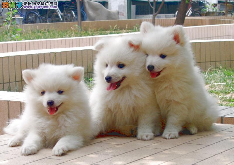 极品银狐 银狐宝宝 CKU认证 可签购犬协议