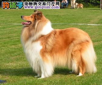 黑龙江省哈尔滨市出售苏格兰牧羊犬宝宝 品相好!