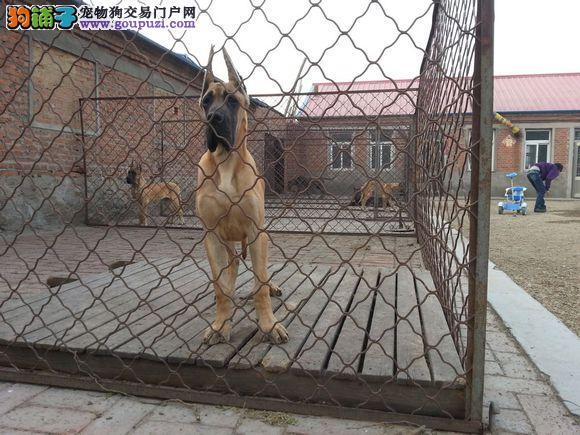 高品质的大丹幼犬出售了 疫苗做完 质量三包