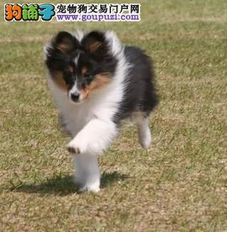 专业繁殖基地售纯种极品喜乐蒂幼犬、品质保证欢迎选购
