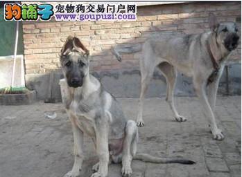 峰之高犬舍     出售狼青、有意者联系 非诚勿扰
