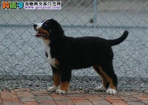 高品质的伯恩山幼犬出售了 疫苗做完 质量三包