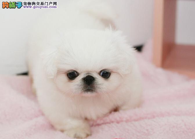 吉林出售京巴幼犬品质好有保障质量三包完美售后