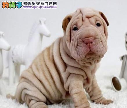专业正规犬舍热卖优秀的沙皮狗可包邮