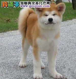 买秋田到哪里?美系 日系全都有.正规狗场出售幼崽