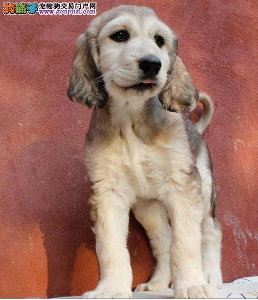 出售极品阿富汗猎犬幼犬完美品相赛级品质保障