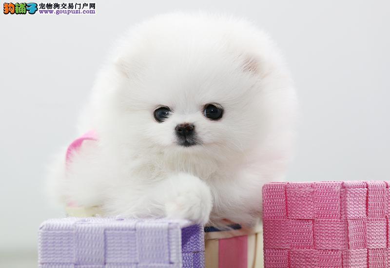 北京人繁殖纯种银狐犬 精心的售后 让您买的开心、放心