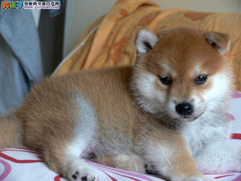 哪里有卖柴犬的,柴犬多少钱,加微信看狗。