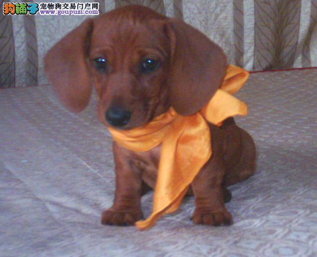 出售多种颜色杭州纯种腊肠犬幼犬专业品质一流