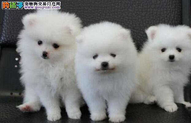 犬舍直销血统纯正日本银狐宝宝 CKU认证犬业。
