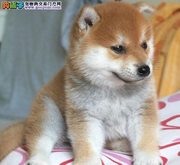 在苏州哪里有卖纯正日本柴犬,柴犬市场价格多少钱一只