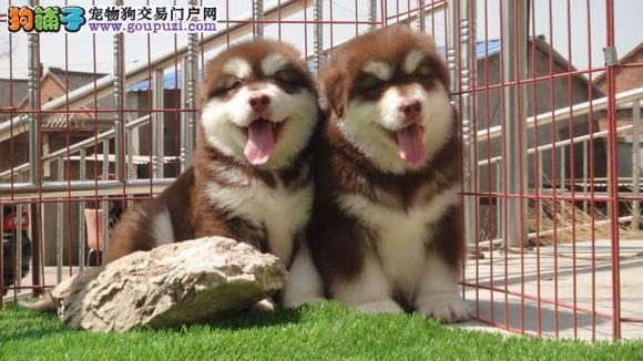 纯种 赛级 阿拉斯加多只可选 正规犬舍出售 签订协议