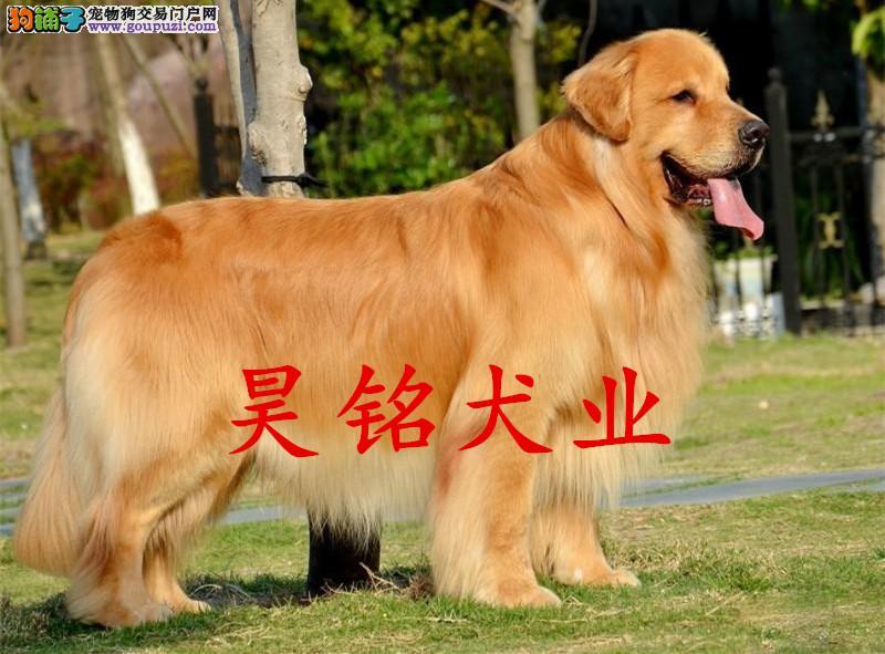 极品、金毛犬出售 保证 纯种和健康 CKU国际认证犬舍
