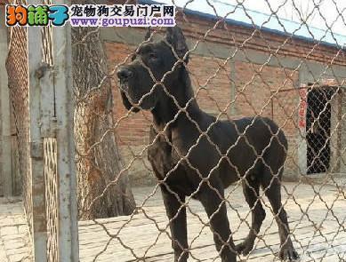 专业正规犬舍热卖优秀的苏州大丹犬假一赔万签活体协议