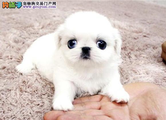 高品质的赛级京巴幼犬出售了 疫苗做完 质量三包